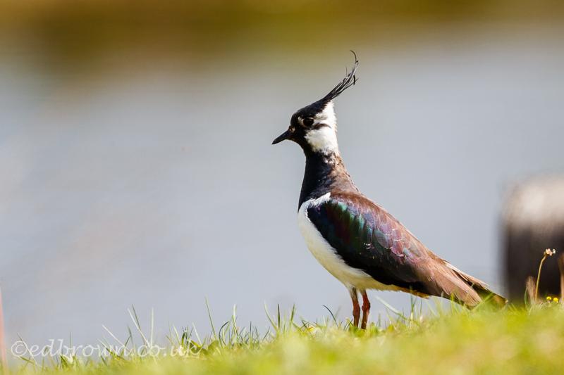 Lapwing (Vanellus vanellus) Jubilee River, UK